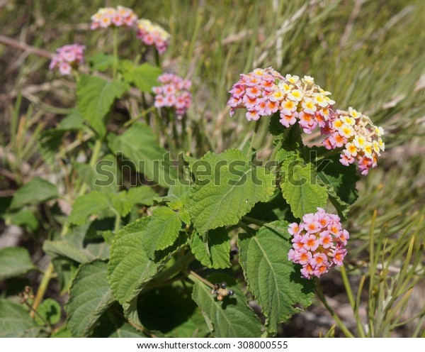 Lantana camara flowers, selective focus on the flower