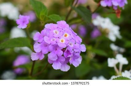 Lantana camara purple flowers