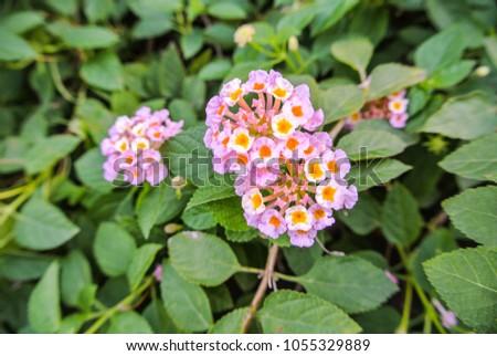 Lantana Camara Species Flowering Plant Within Stock Photo Edit Now