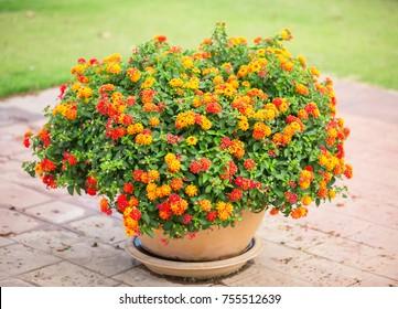 Lantana camera flower jar
