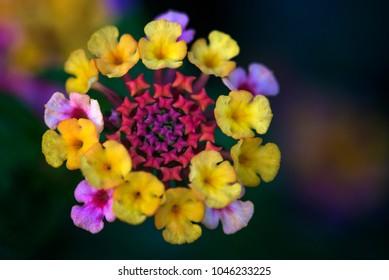 Lantana flower at full bloom in summer