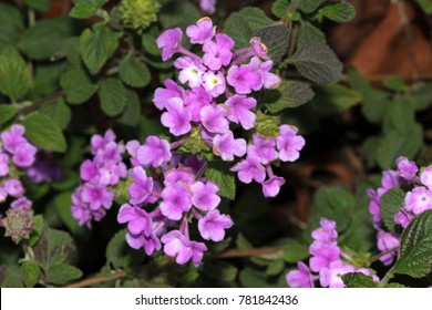 Lantana montevidensis,  Trailing lantana, Purple lantana, trailing shrub with opposite oval leaves and purple blue flowers in small flat topped clusters, with large ovate bracts,