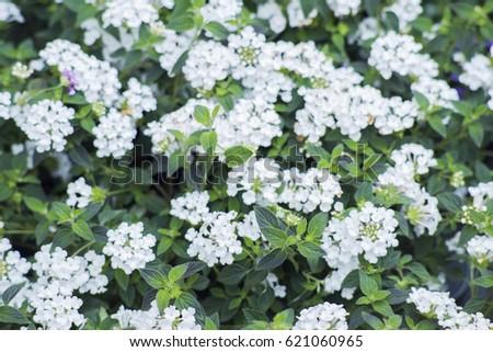 Lantana Sellowiana Flowers Bloom May September Stock Photo Edit Now