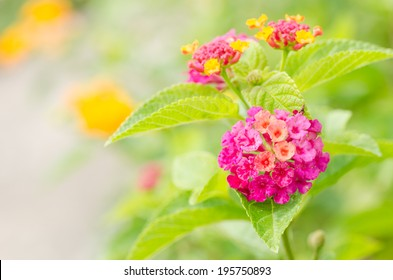 Lantana or Wild sage or Cloth of gold or Lantana camara flower in the garden