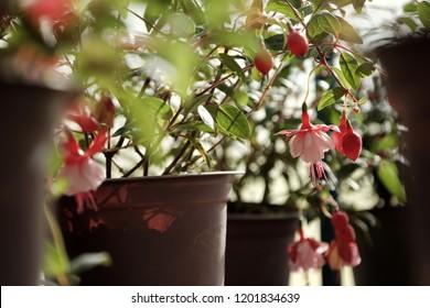 Lantern flower, a kind of fuchsia hybrida, group of pink flower pot bloom at garden in springtime