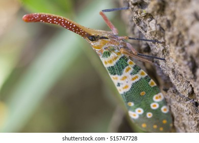 Lanternfly, the insect on tree fruits. (FULGORID PLANTHOPPERS) Pyrops candelaria or lantern Fly,sometime we call trunk cicada or trunk butterfly
