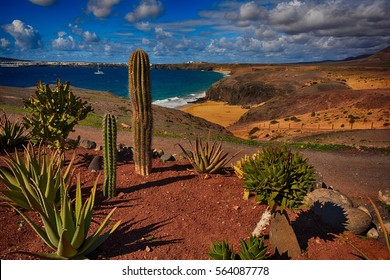 Lanzarote, Papagayo, beach with cactus.