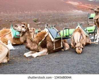 Lanzarote, Spain: Dromedaries for the transport of tourists on the Timanfaia lava dunes