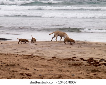Lanzarote, Spain - June 12, 2017: Famara, dogs play on the beach