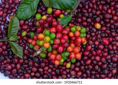 laos coffee,pakxong coffee fruits farming in asia