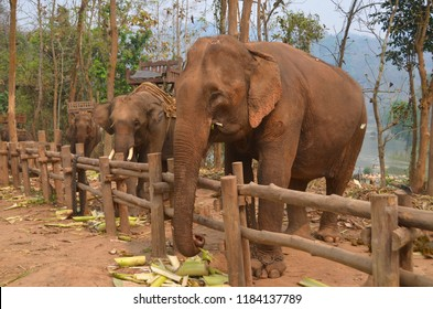 "Laos the ""Land of a Million Elephants"", the Laos PDR historically had large and widely distributed populations of both wild and domesticated elephants."