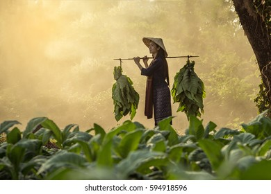 Laos woman  tobacco growers