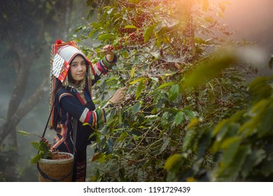 Laos woman unidentified coffee farmer is harvesting coffee berries in the coffee farm, Woman wearing traditional thai lanna people ,vintage style,Thailand