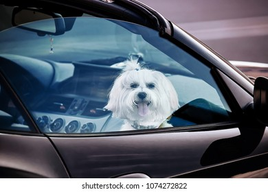 lapdog looks trough the glass of car window. Dog protects the car while the owner walked away. Dog waiting owner in car