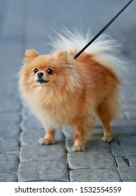 Lapdog pomeranian spitz walking on leash with his owner. Cute pom sitting on the street. Fluffy pomeranian spitz-dog on walkway in the city. Family companion