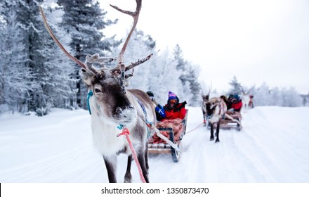 LAPLAND, FINLAND - January 2018: A traditional sleigh ride with the Sami people in Finnish Lapland
