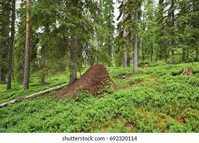 Lapland forest with Anthill, Könkäänvaara