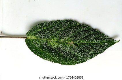 """""""Laportea aestuans """" These leaves are very itchy and painful when exposed to human skin, but for some people in Papua these leaves are a feverish and achy medicine."""
