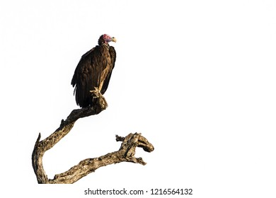 Lappet faced Vulture in Kruger National park, South Africa ; Specie Torgos tracheliotos family of Accipitridae