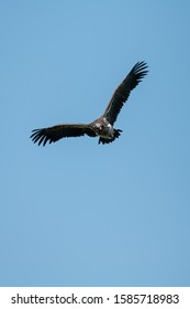 Lappet-faced vulture glides with raised wings
