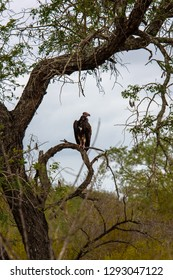 A Lappet-faced Vulture is sitting in a tree observing the scenery