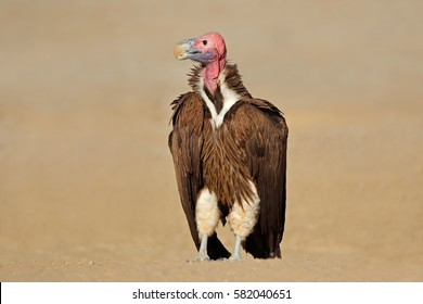 Lappet-faced vulture (Torgos tracheliotus) sitting on the ground, South Africa