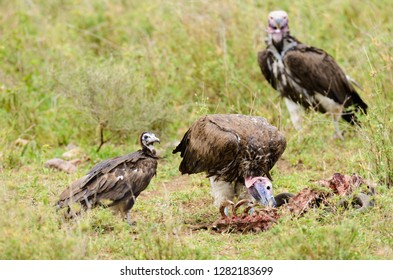 Lappet-faced Vultures (Torgos tracheliotos) picking on a carcass on the Serengeti