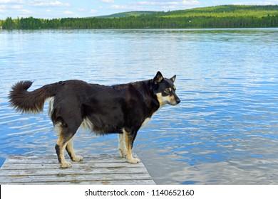 Lapponian herder (Lapinporokoira or Lapp Reindeer dog or Lapsk Vallhund)  against blue lake. Finnish Lapland