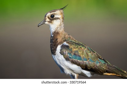 Lapwing  Close Up