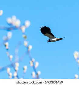 Lapwing flying at springtime against a blue sky  with bright blurred buds in the foreground
