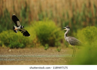 Lapwing and Grey heron