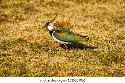 Lapwing, Northern Lapwing (Vanellus vanillas) also known as the Peewit foraging in natural habitat on marshy ground.  Walking to left.  Splendid crest and iridescent plumage.  Landscape, Horizontal.