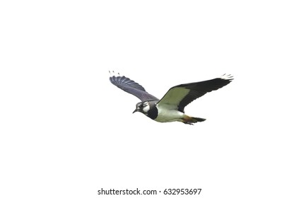 Lapwing in the Yorkshire Dales