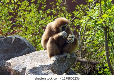 Lar gibbon, hylobates lar, is an endangered primate in the gibbon family