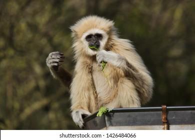 Lar gibbon (Hylobates lar), also known as the white-handed gibbon.