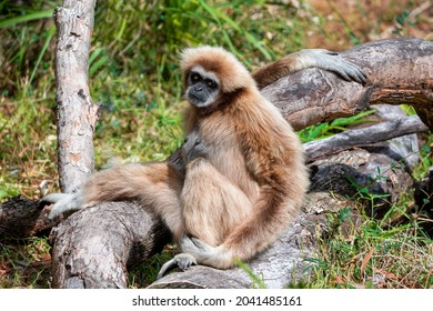 Lar gibbon monkey (Hylobates lar), also known as white-handed gibbon, seated in a forest, looking at camera. Fur coloring varies from black and dark-brown to light-brown, sandy colors.
