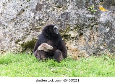 Lar gibbon, white-handed gibbon, monkey sitting alone