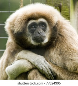 Lar or White Handed Gibbon at Welsh Mountain Zoo
