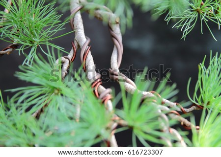 Strange Larch Bonsai Tree Branches Wires Shaping Stock Photo Edit Now Wiring 101 Capemaxxcnl