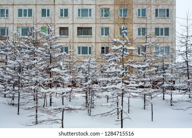 Larch with branches covered with snow after a snowfall. In the courtyard near the old panel building. Many windows on the facade of the house. Snowdrifts around the trees. Magadan, Siberia, Russia.