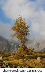 Larch in Fall in Val Grande in front of a blue cloudy sky