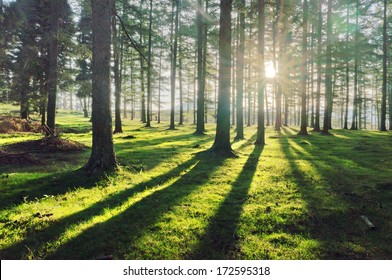 larch forest with sunlight and shadows at sunset