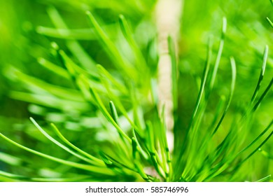 Larch (larix) tree needles texture to be used as a floral pattern, backdrop. Macro or closeup view of fresh foliage in spring season. Green color, soft or blurry background. Free space to enter text.