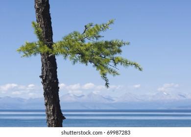 Larch on a lake shore