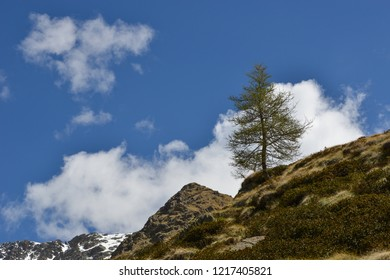 Larch on a Mountain  in front of a blue sky with clouds in Valle di Cané