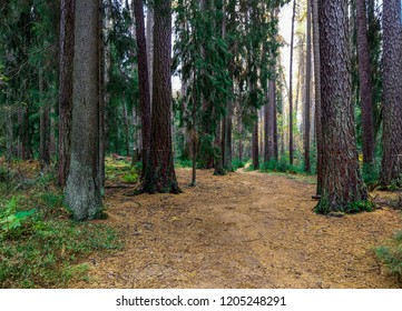 Larch tree forest path landscape. Autumn larch tree forest path in Karelia wilderness scene. Wilderness forest larch trees trail view. Autumn wilderness forest path landscape