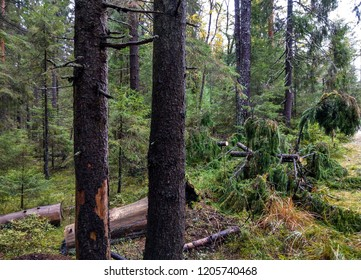 Larch tree forest wilderness scene. Moss forest trees in Karelia backwoods. Forest trees moss view. Fairytale forest wilderness trees view