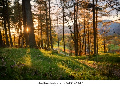 Larch Trees Backlit by Setting Sun in a Forest at Tarn Hows in the Lake District, England.