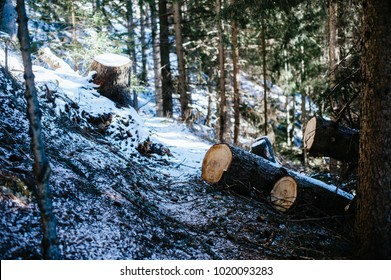 larch trees cut into a mountain forest in winter in the mountains with snow on the ground
