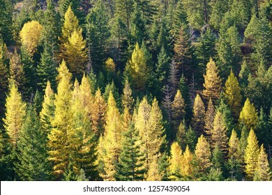 Larch trees near their peak autumn golden color in a mountainside forest that also has many evergreen trees in Cascade Mountains of WA. The deciduous larches, aka tamaracks, stand out with gold color.
